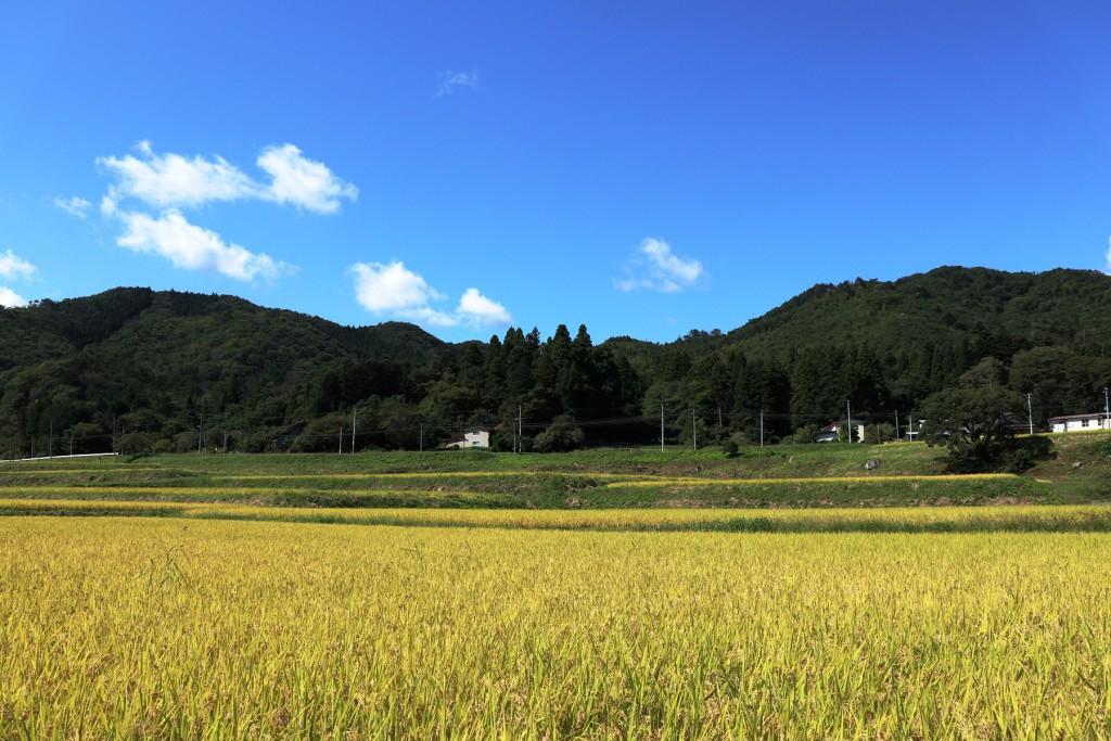 なかなか晴れ間がのぞきませんでしたが、ようやく黄金の稲穂と青空の写真が撮れました